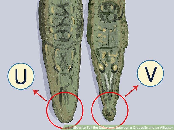 Phân biệt crocodile và alligator trong tiếng anh con nào mới là cá sấu - 2