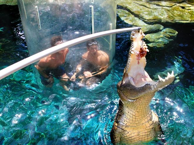 Bơi cùng cá sấu khổng lồ ở công viên tại Australia