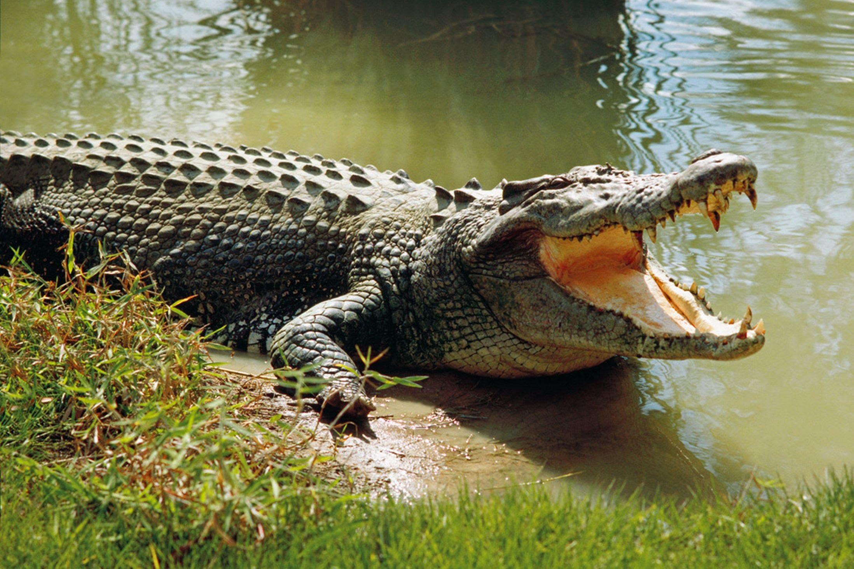 Điều bạn chưa biết về cá sấu !